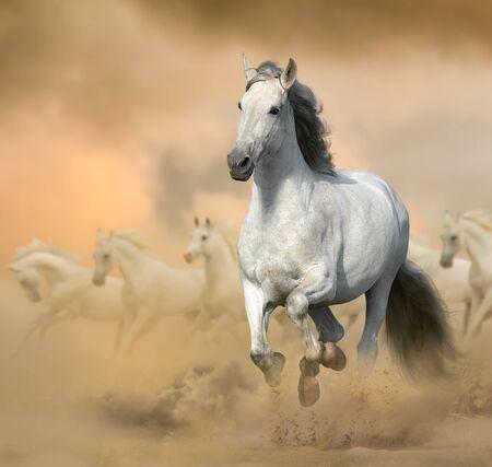 Photo pour Andalusian stallion in prairies. Running white horse on a wild. Wild white horses in sunset, galloping. Farm animals theme - image libre de droit