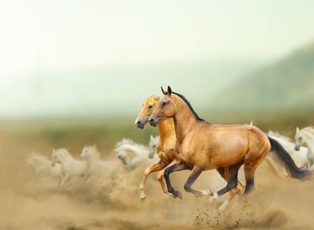 Photo pour Beautiful wild horses in prairies. Wild horses running fast with the group of white arabian horses. Mountains and desert. Farm animal theme - image libre de droit