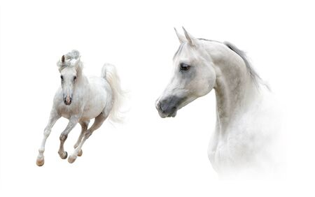 Photo pour Collection of portrait and full length arabian stallion over a white background. White arabian horse headshot and galloping front view. Dapple gray white horses in high key style - image libre de droit