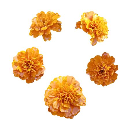 Foto de Marigold orange flowers isolated on white background. Image for your decor and design. The day of the Dead. Mexico. - Imagen libre de derechos