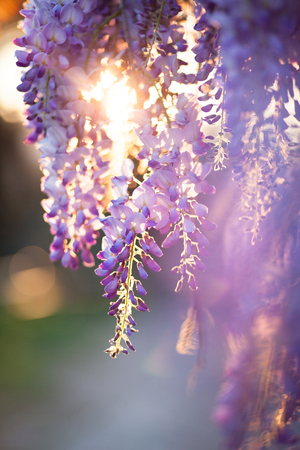 Photo for Beautiful wisteria flowers are blooming in spring on the sunset in the garden. - Royalty Free Image