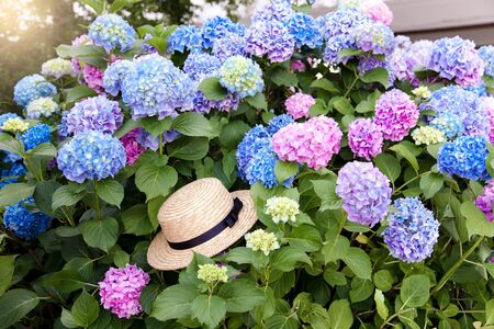 Photo for Straw hat in hydrangea bushes in sunset garden. Pink, blue, lilac flowers blooming in spring and summer. - Royalty Free Image