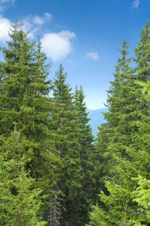 Pine trees on summer day