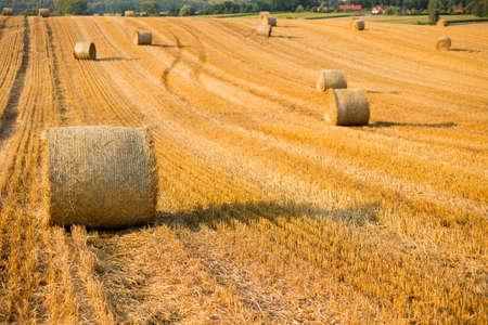 Foto für Haystacks in autumn field. Wheat yellow golden harvest in summer. Countryside natural landscape. Hay bale - Lizenzfreies Bild