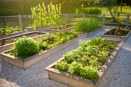 Foto de Community kitchen garden. Raised garden beds with plants in vegetable community garden. Lessons of gardening for kids. - Imagen libre de derechos