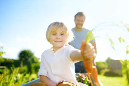 Photo pour Happy little boy having fun in a wheelbarrow pushing by dad in domestic garden on warm sunny day. Child hold bunch of fresh carrots. Active outdoors games for kids in the backyard during harvest time - image libre de droit