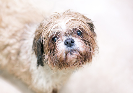 Photo for A wet and dirty dog with a sad expression on its face - Royalty Free Image