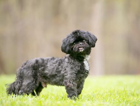 Photo pour A black Shih Tzu mixed breed dog standing outdoors - image libre de droit