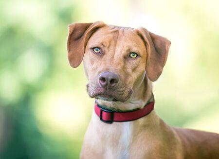 Photo pour A Vizsla mixed breed dog outdoors wearing a red collar - image libre de droit