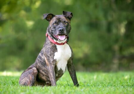 Photo pour A brindle and white Pit Bull Terrier mixed breed dog sitting outdoors with a happy expression - image libre de droit