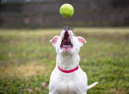 Photo pour A white Pit Bull Terrier mixed breed dog looking up to catch a ball - image libre de droit