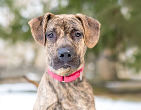Photo pour A brindle Hound x Terrier mixed breed dog wearing a red collar - image libre de droit