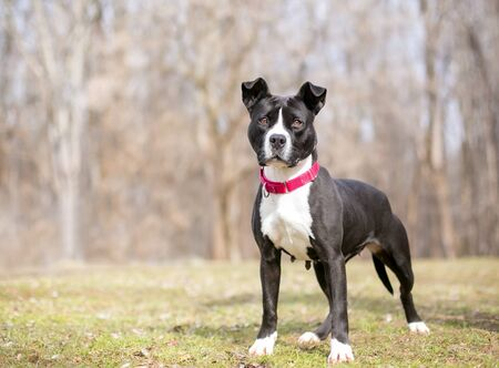 Photo pour A black and white Pit Bull Terrier mixed breed dog wearing a red collar, standing outdoors - image libre de droit