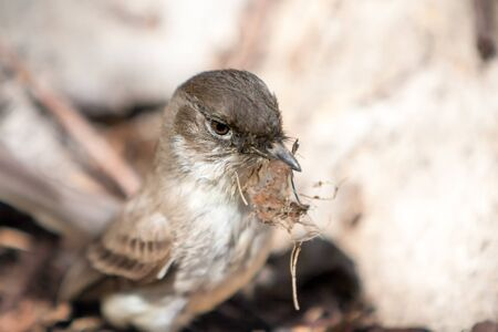 Photo pour An Eastern Phoebe (Sayornis phoebe) collecting material to build a nest during the spring in Maryland - image libre de droit