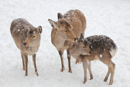 Snow, deer of Nara Park, in Japan