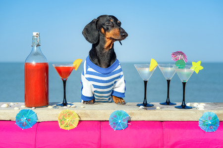 Photo pour funny cool dachshund dog drinking cocktails,  at the bar in a  beach club party with ocean view - image libre de droit