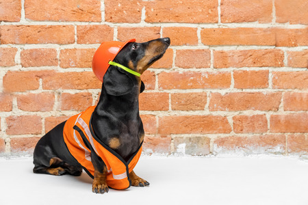 Photo pour Dachshund dog, black and tan, sits on the background of a dirty  brick wall, in an orange construction vest and helmet, during a building renovation, looking up.  copy space for text - image libre de droit