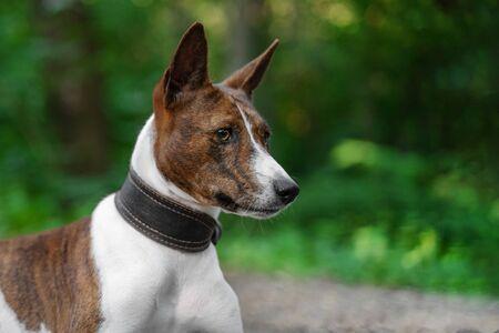 Photo pour Portrait of a red basenji  in a summer forest. Basenji Kongo Terrier Dog. - image libre de droit
