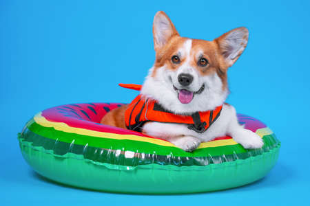Photo pour Funny smiling welsh corgi pembroke or cardigan dog in orange life vest lies in inflated swimming floating ring. Studio, blue background, copy space. - image libre de droit