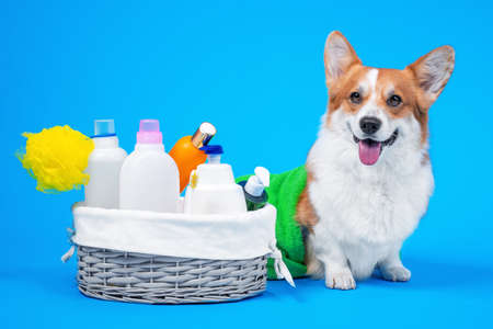 Photo pour Portrait welsh corgi pembroke dog, with a box of accessories for bathing or grooming against an blue background. how to groom a dog at home. dog shampoo homemade. - image libre de droit