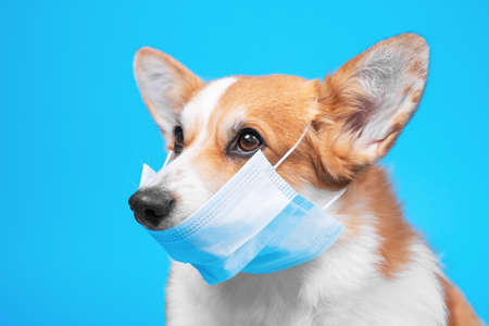 Photo pour Portrait of smart welsh corgi pembroke dog in protective mask for not to spread dangerous virus, not infect others, on blue background. Awareness of self isolation, quarantine and epidemic prevention. - image libre de droit