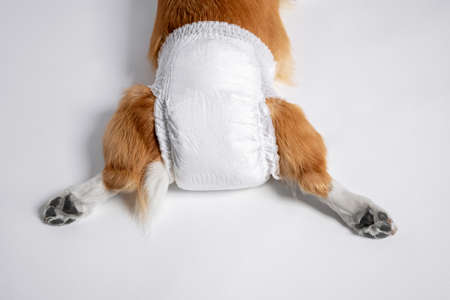Photo pour top view of dog welsh corgi Pembroke lies in a special diaper spreading its paws back on a white background. lifestyle pet. doggy diaper for incontinence or in heat - image libre de droit