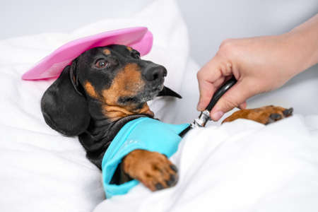 Photo for sad dachshund dog, black and tan, sleeping in bed with high fever temperature, ice bag on head, covered by a blanket, vet auditions a dog with a stethoscope - Royalty Free Image