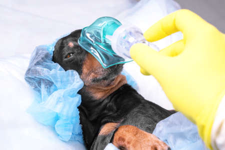 Photo for Portrait of dachshund in protective disposable surgical cap and anesthesia oxygen mask lies on operating table before complex procedure in hospital, close up. - Royalty Free Image