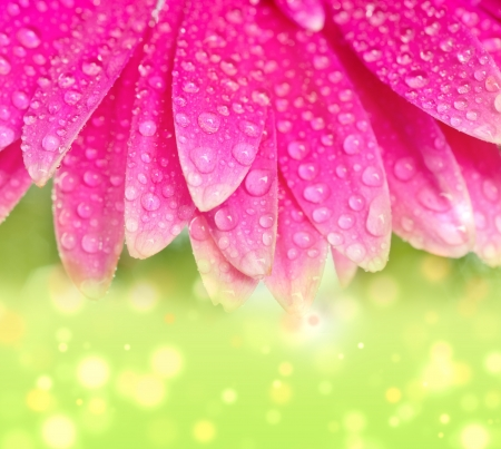 Photo pour Petals pink gerbers with dew drops - image libre de droit