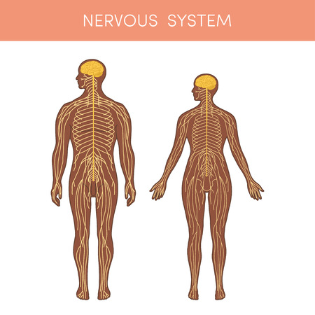 Illustration pour The nervous system of a human. Cartoon vector illustration for medical atlas or educational textbook. Physiology of a male and female. - image libre de droit