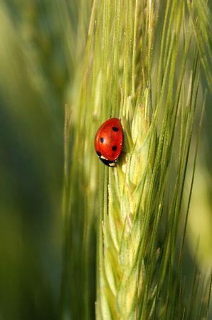 ladybird on wheat ear