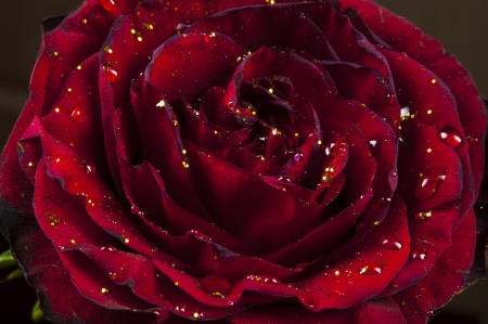 An image of red rose
