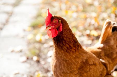 An image of brown hen outdoor
