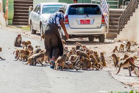 MT POPA, MYANMAR - DECEMBER 8, 2016: Macaques being fed near Mt Popa temple, Myanmar