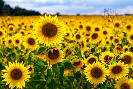Photo pour Beautiful Sunflowers in a sunflowerfield with nice colors and bokeh. High quality photo - image libre de droit