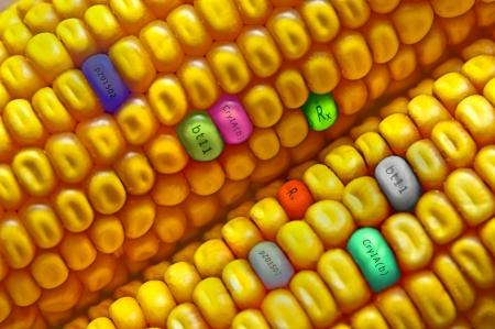 Foto für Gmo concept corn seed - Lizenzfreies Bild