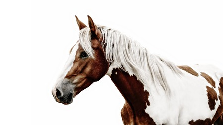 Photo for Gorgeous pinto horse with nice bridle standing. - Royalty Free Image