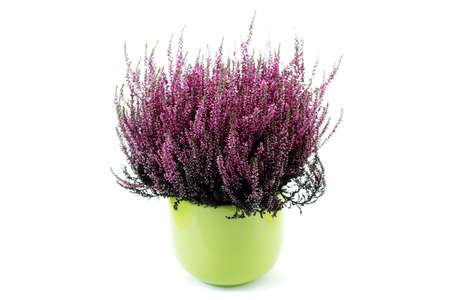 green pot of heather on white background - flowers and plants
