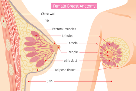 Illustration pour Cross Section Of Female Breast Anatomy, Mammary, Boob, Body, Organs, Physical, Sickness, Health - image libre de droit