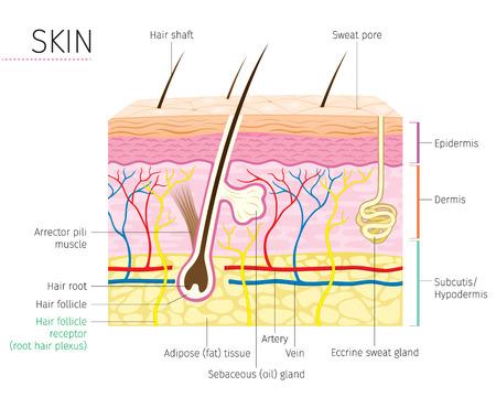Ilustración de Human Anatomy, Skin And Hair Diagram, Complexion, Physiology, System, Medical, Healthy, Beauty, Cosmetic, Makeup, Treatment - Imagen libre de derechos
