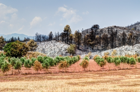 Olive grove in the municipality of Biure after the tragic wildfire in Catalonia