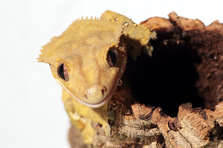 Portrait of a new Caledonian crested gecko (Rhacodactylus ciliatus) wet by water drops on white