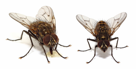 A couple of house flies (common fly) isolated on white