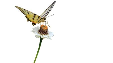 Foto per bella farfalla con sfondo bianco - Immagine Royalty Free