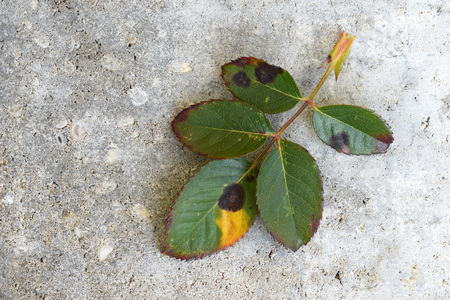 Photo pour Old rose leaf after winter with fungal disease Black spot of rose caused by Diplocarpon rosae - image libre de droit