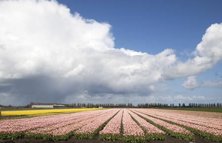 Photo pour Dutch spring tulip flowers - image libre de droit