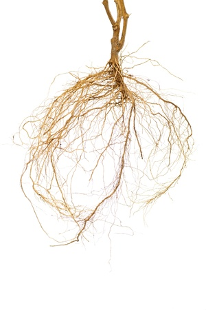 Roots of a tomato plant with a white background