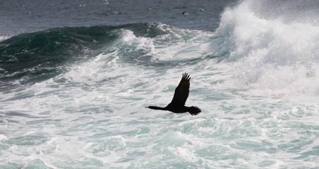 cormorant flies over a raging sea  (Commander Islands)