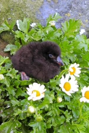 Black baby bird of  Lunda cirrhata at a hole. Commander Islands