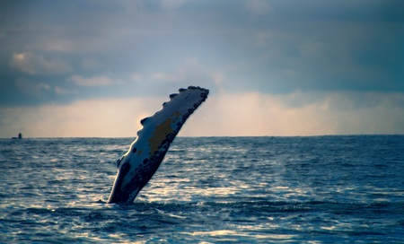 Marriage communication. Hump-backed whale (Megaptera novaeangliae) slaps water with huge fin. Megaptera means huge wing. Pacific ocean Aleutian-Commander Islands